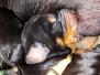 Puppies A-litter 12-06-2017