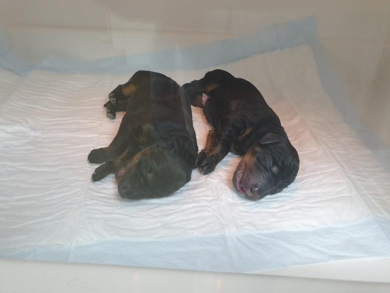 C-Litter_Puppies-in-incubator