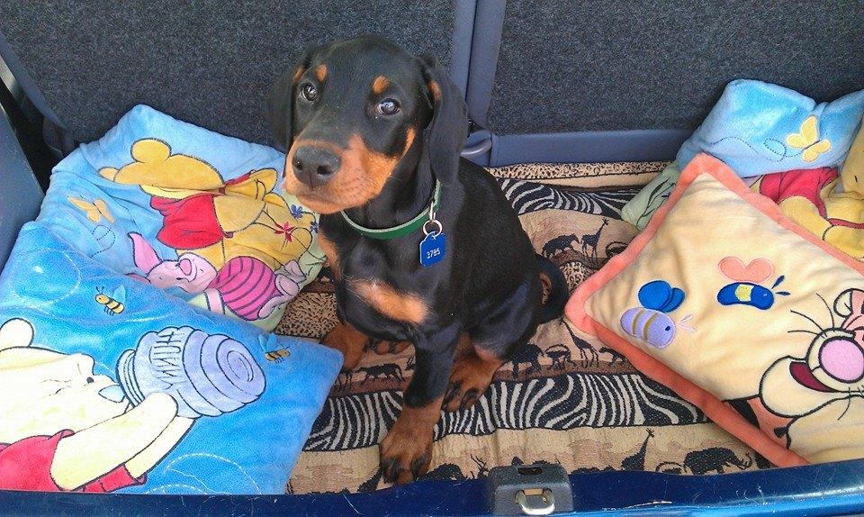 Sacha als pup voor het eerst in de auto